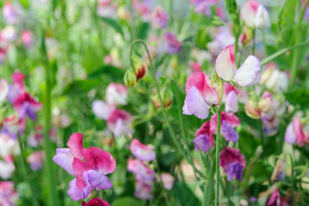 Lathyrus odoratus 'Fire and Ice'