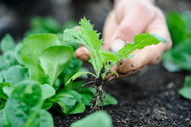 Pullling out a weed seedling