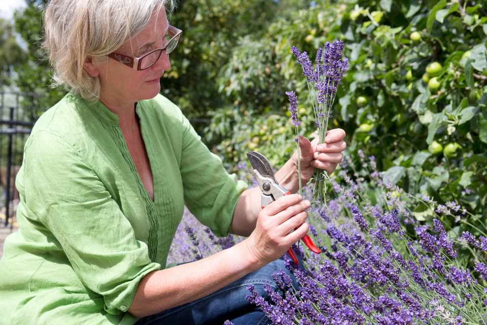 How to make a lavender hedge