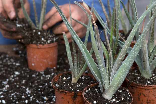 How to propagate aloes