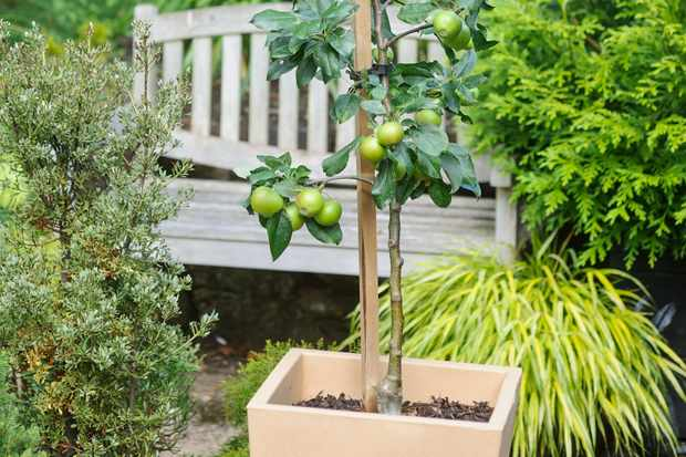 How to plant an apple tree in a pot