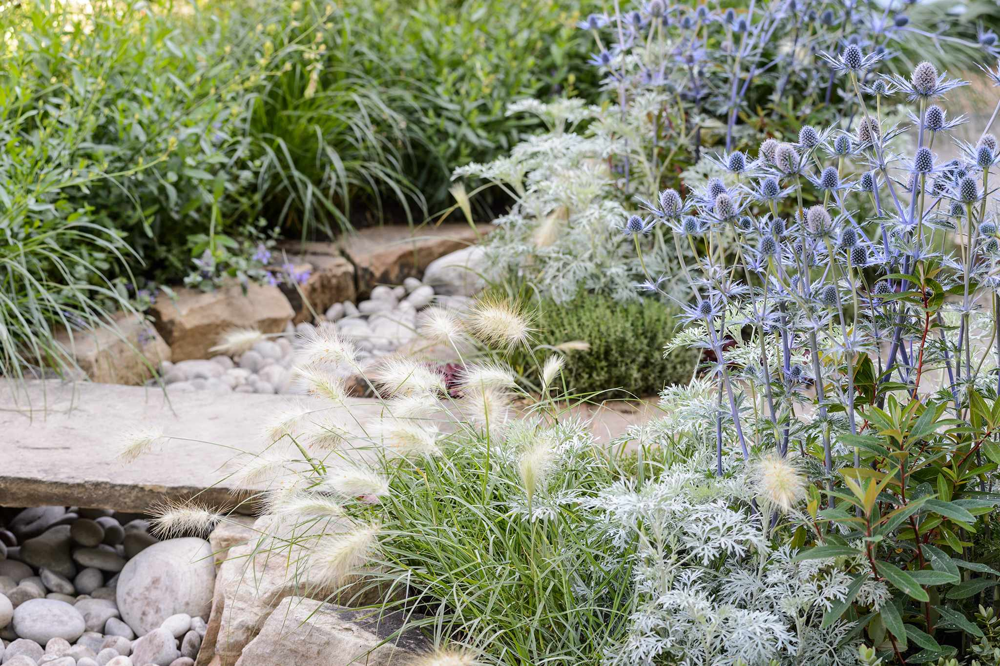 Eryngium Artemisia Pennisetum and Thyme in The Drought Garden designed by Steve Dimmock dry garden 040716 04072016 04/07/16 04/07/2016 4 4th July 2016 Summer RHS Hampton Court Flower Show Photographer Jason Ingram horizontal