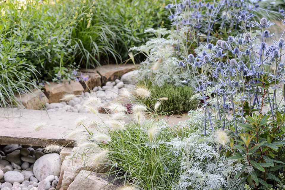 Eryngium Artemisia Pennisetum and Thyme in The Drought Garden designed by Steve Dimmock dry garden 040716 04072016 04/07/16 04/07/2016 4 4th July 2016 Summer RHS Hampton Court Flower Show Photographer Jason Ingram horizontal