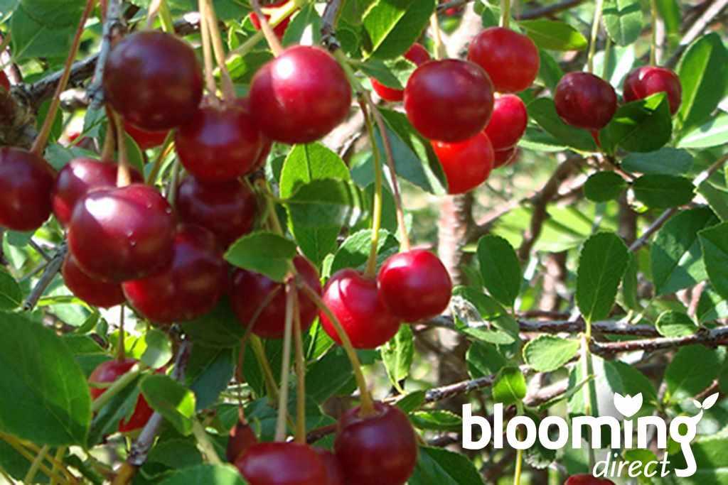 blooming-direct-cherry-bush-logo
