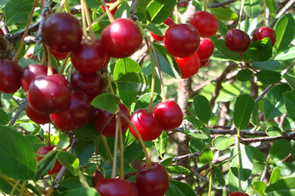 blooming-direct-cherry-bush