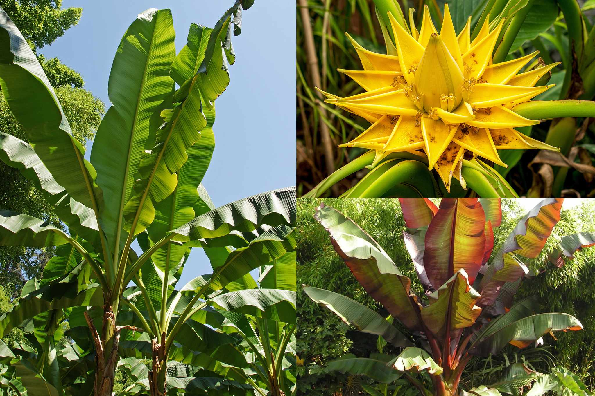 Banana plants from Blooming Direct
