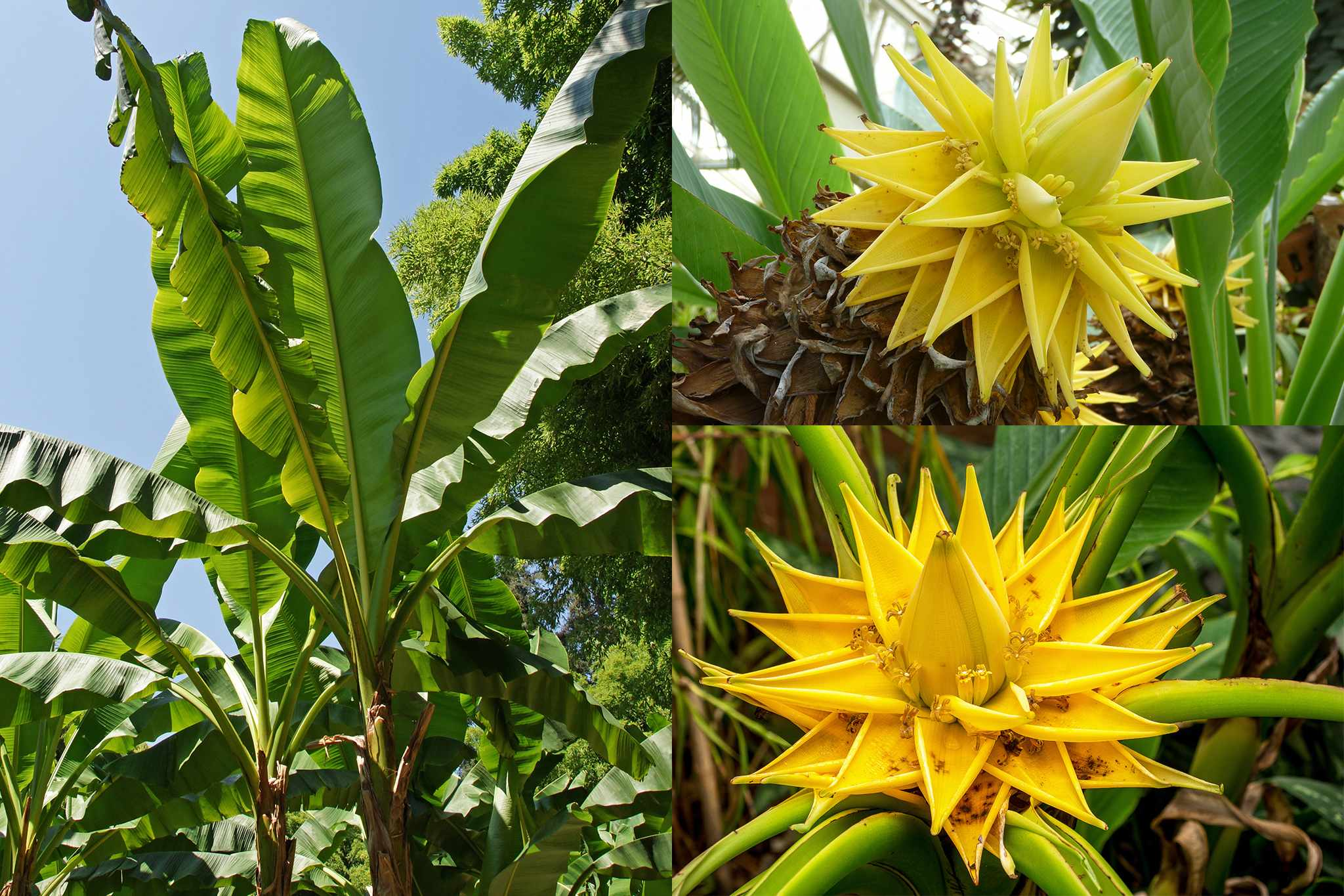 bloomingdirect-buy1get1free-banana-trees_2