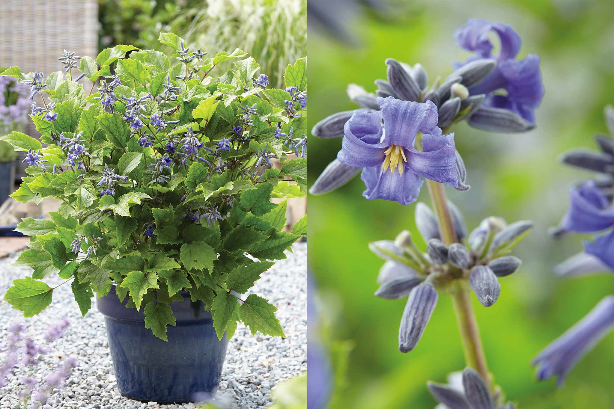 tandm-herbaceous-clematis-new-love