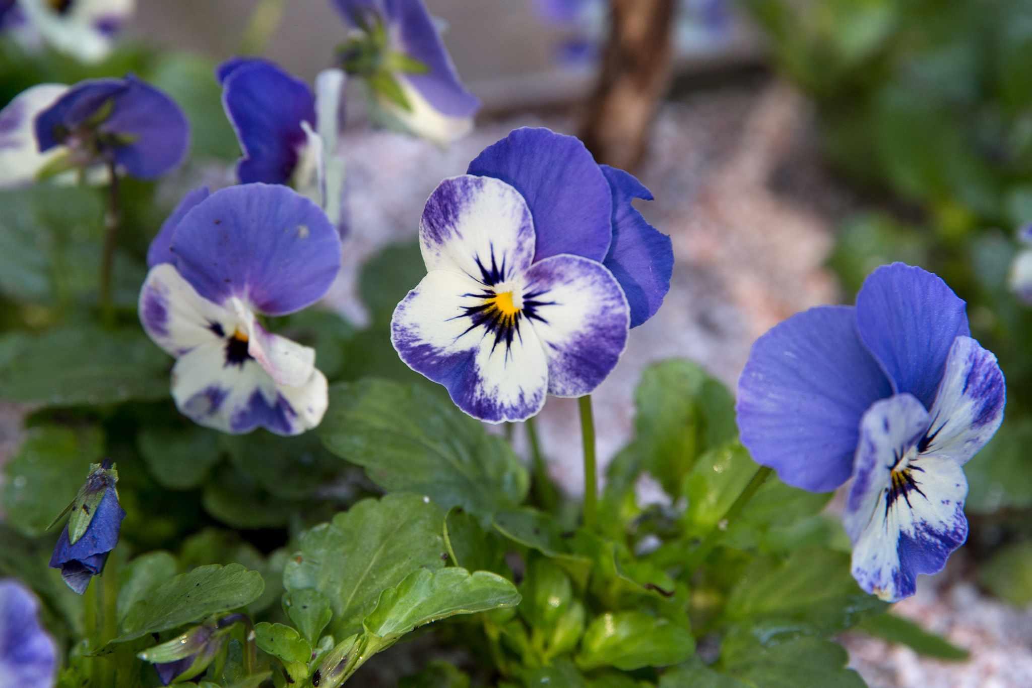 Viola 'Sorbet Delft Blue'