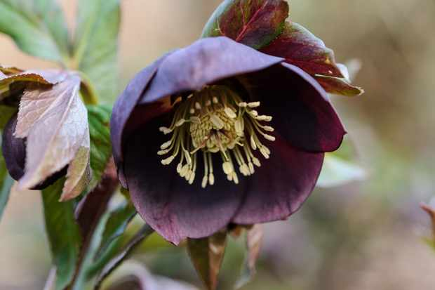 Helleborus 'Garden Black'