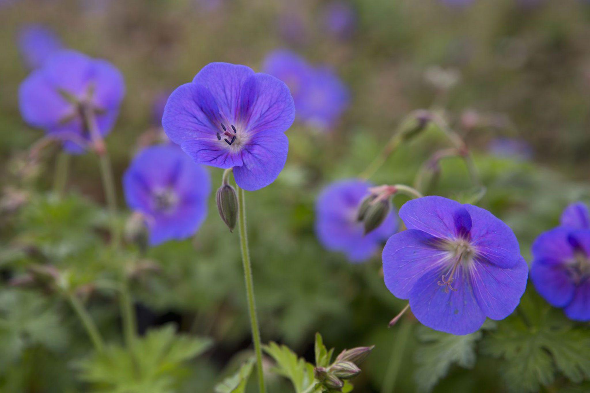 Geranium himalayense /'Gravetye/'