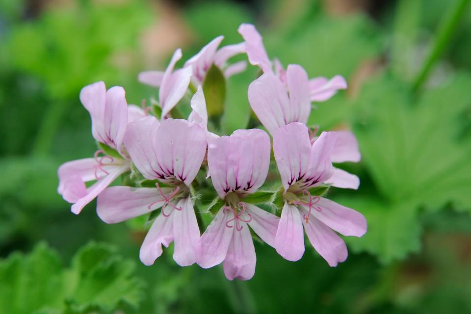 Pelargonium Attar Of Roses Bbc Gardeners World Magazine
