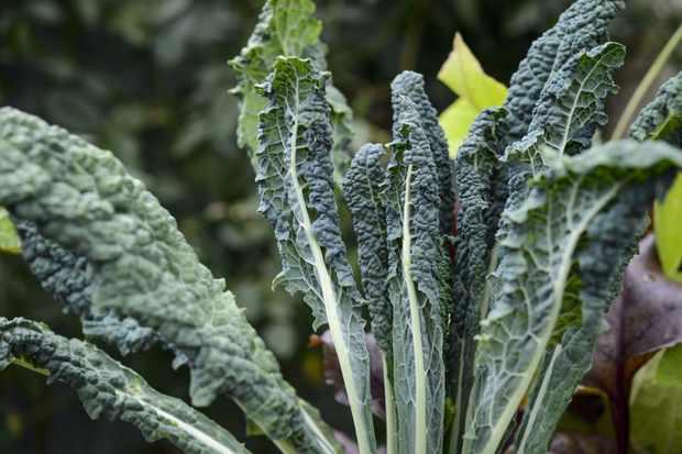 Brassica oleracea 'Cavolo Nero'