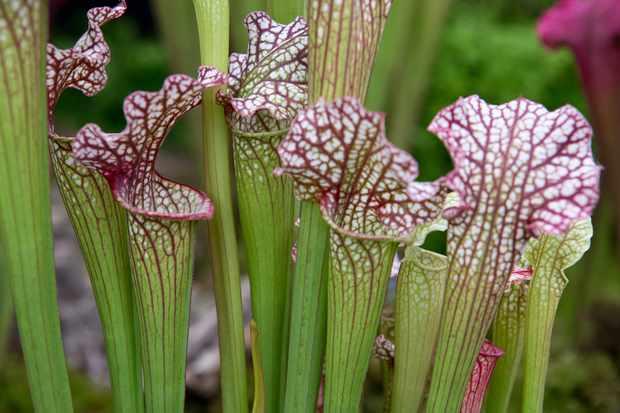 Sarracenia Juthatip Soper x S. leucophylla