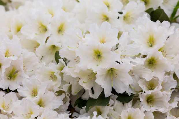 Rhododendron 'Dufthecke'