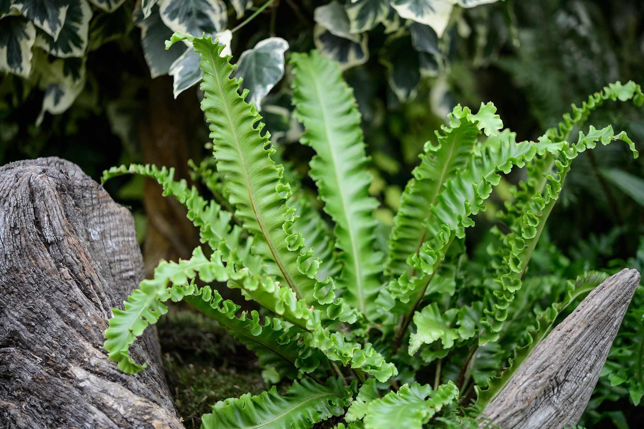Asplenium scolopendrium Crispum Boltons Nobile