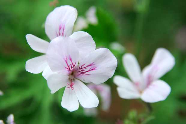 Pelargonium 'Bitter Lemon'