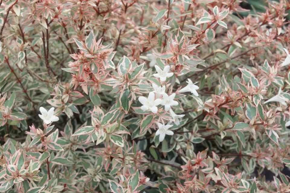 Abelia X Grandiflora Confetti Bbc Gardeners World Magazine