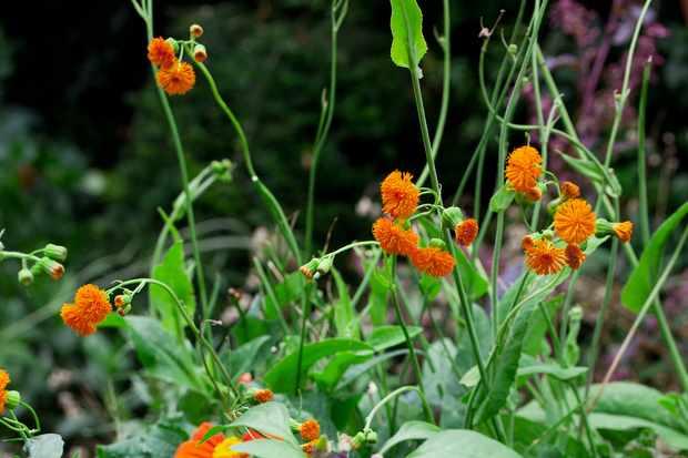 Emilia sonchifolia var. javanica Irish Poet