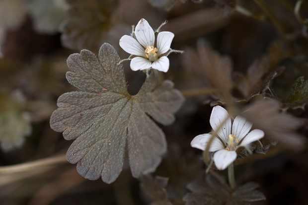 Geranium sessiliflorum subsp. novae-zelandiae 'Nigrescens'