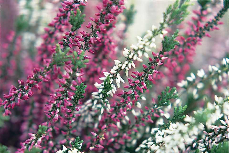 Top Calluna vulgaris 'Garden Girls series' - BBC Gardeners' World Magazine #OR_93