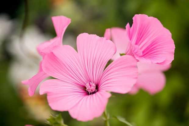 Lavatera trimestris 'Beauty Mix'