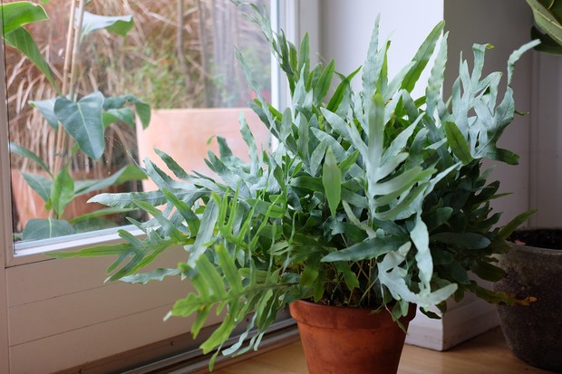 Glaucous, lobed leaves of the rabbit's foot fern Phlebodium aureum