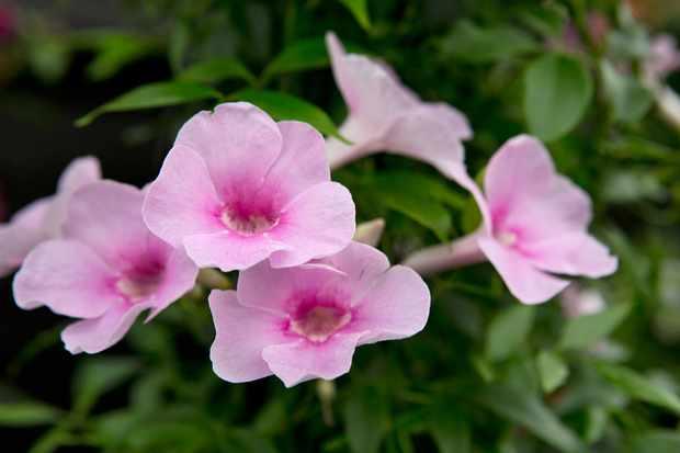 Pandorea jasminoides 'Rosea Superba'