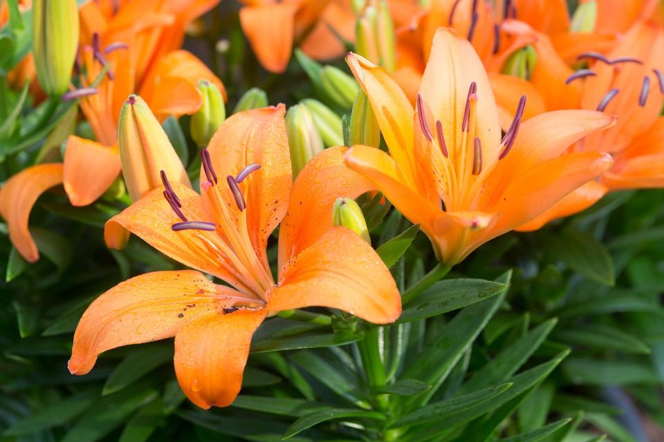 Lilium Orange Pixie Bbc Gardeners World Magazine