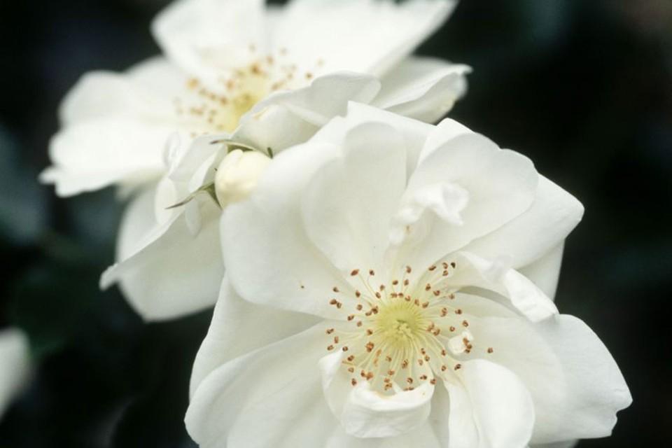 Rosa Flower Carpet White Bbc Gardeners World Magazine