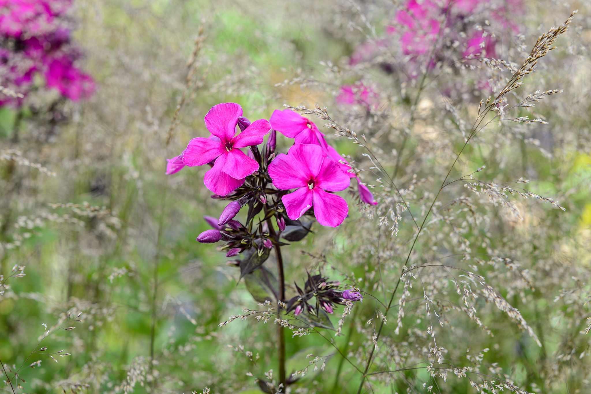 Phlox paniculata 'Dusterlohe'