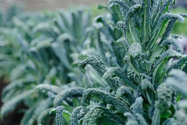 Brassica oleracea 'Black Tuscany'
