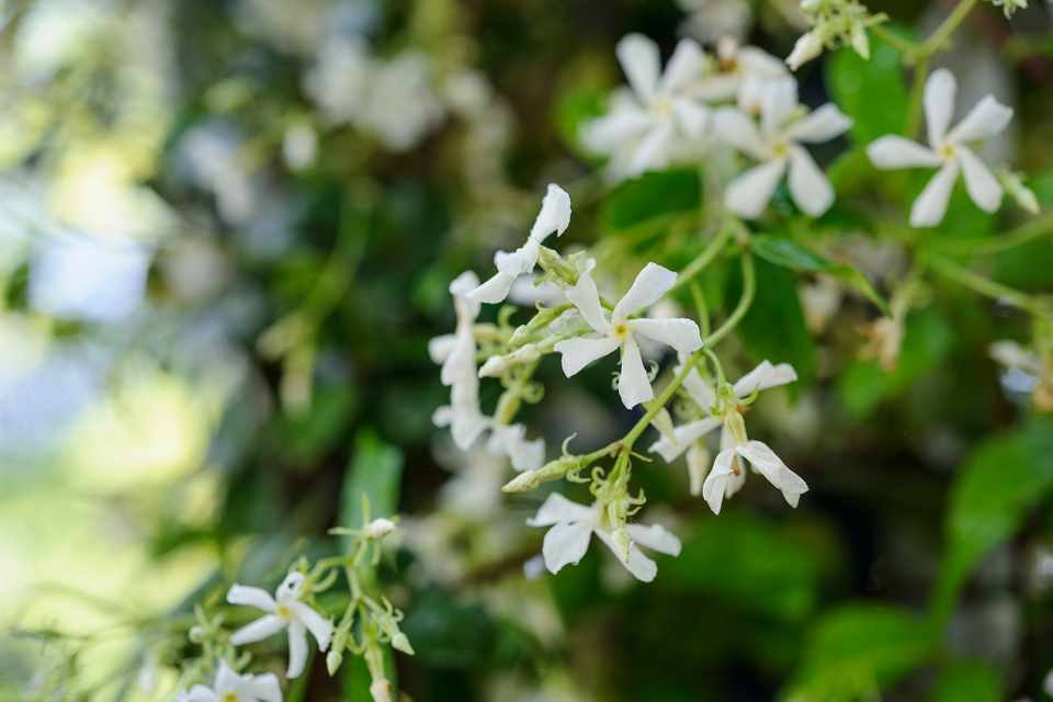 Picture of Live Star Jasmine aka Trachelospermum asiaticum Plant Fit 5 Gallon Pot