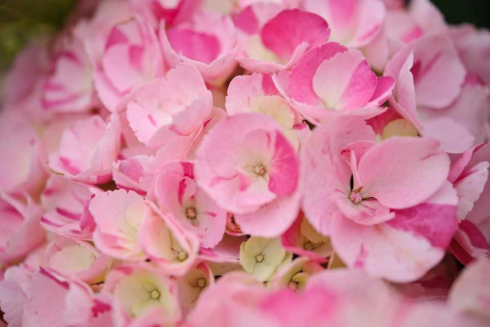 Hydrangea macrophylla 'Sweet Fantasy'