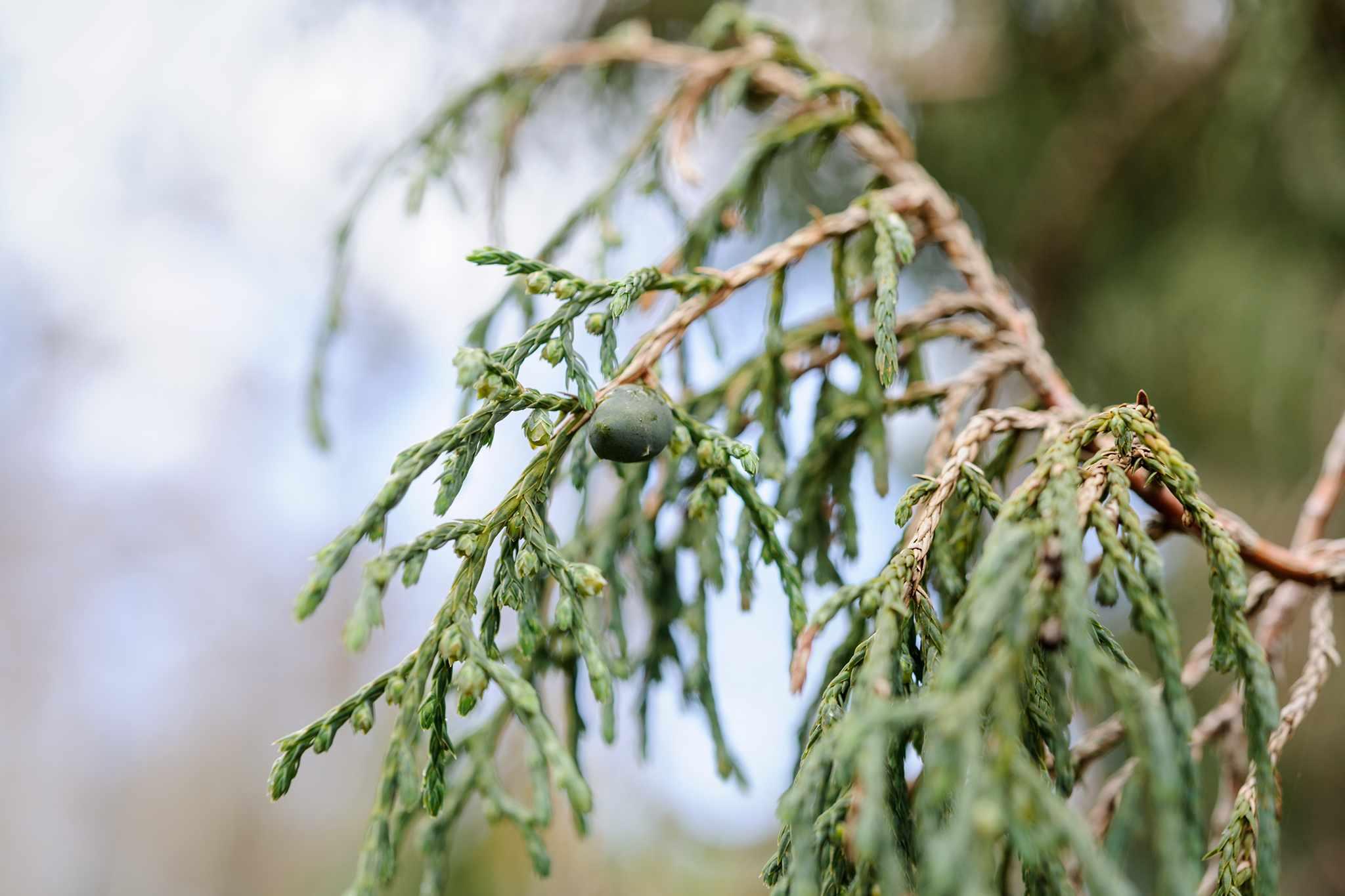 Juniperus recurva 'Castlewellan'