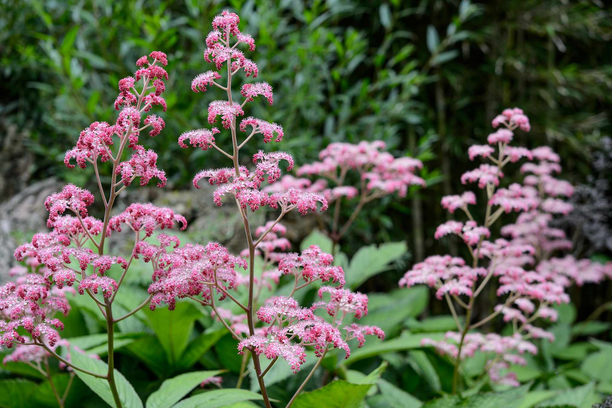 Rodgersia pinnata 'Buckland Beauty',  Sir Harold Hillier Garden