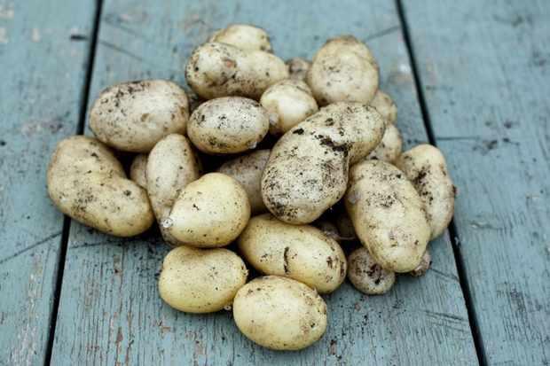Solanum tuberosum 'International Kidney'