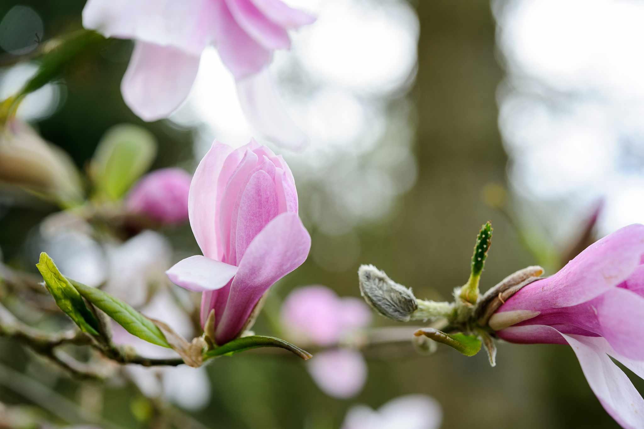 Magnolia x loebneri Leonard Messel