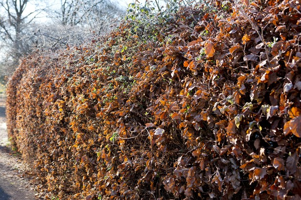 Beech (Fagus sylvatica) hedge in winter