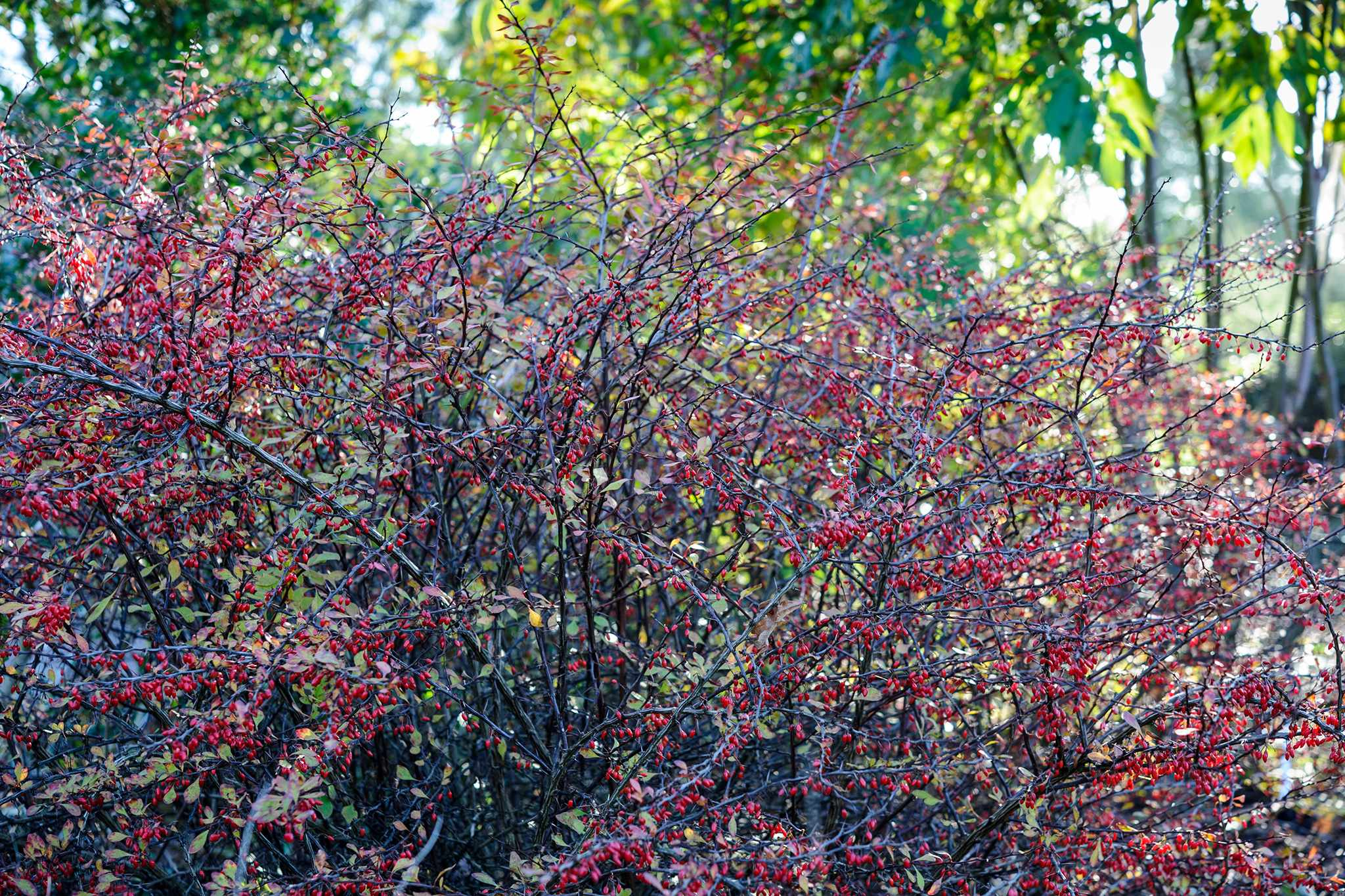 Berberis thunbergii 'Cheal's Scarlet'