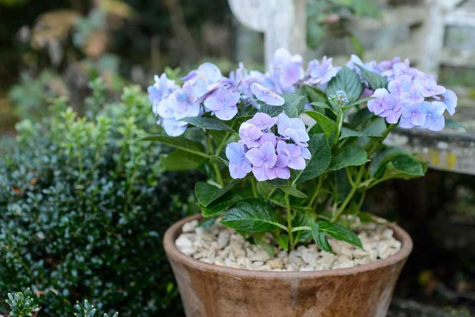 Hydrangea macrophylla 'Blue Danube'