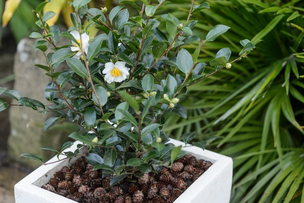 Camellia sasanqua 'Kenkyo