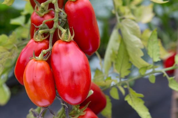 Plum tomato variety 'San Marzano'