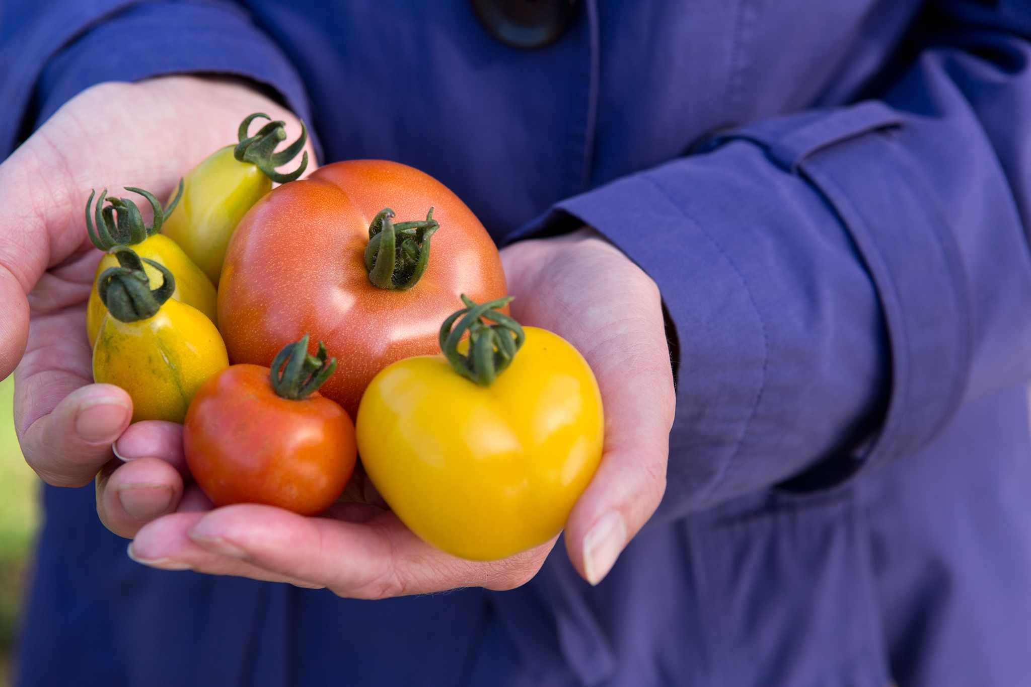 Hands holding a selection of harvested Tomatoes red and yellow varieties