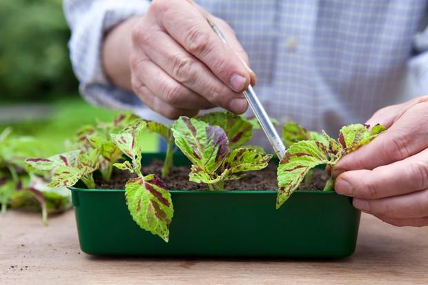 Taking solenostemon cuttings