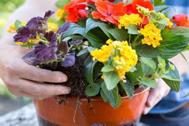 Planting coleus with lantana and impatiens
