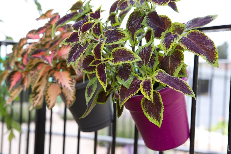 How To Grow Solenostemon Coleus Bbc Gardeners World Magazine