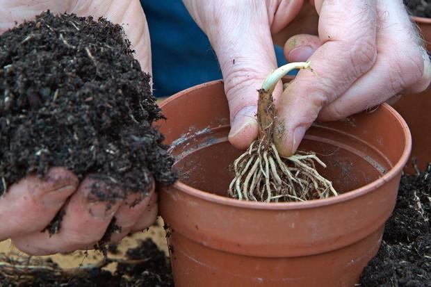 Planting convallaria roots in pots