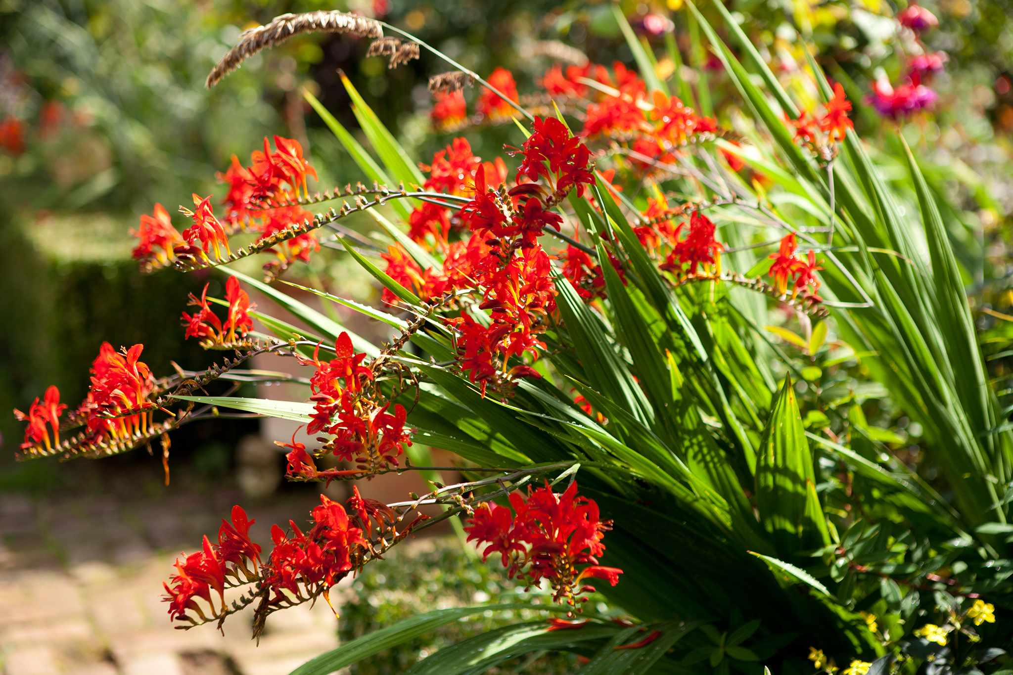 Red crocosmia