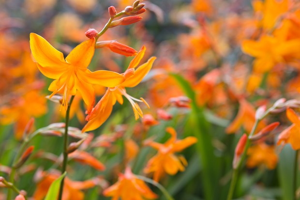 Crocosmia x crocosmiiflora 'Star of the East'